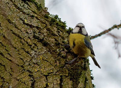 Photograph - Blue Tit Hanging On Tree by Scott Lyons