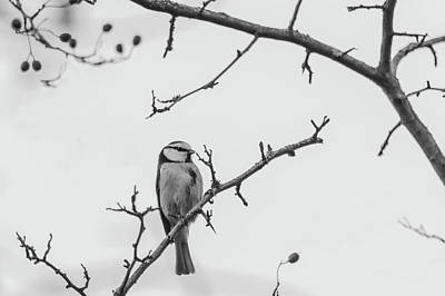 Photograph - Blue Tit Monochrome by Scott Lyons