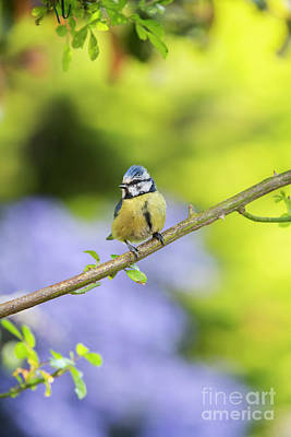 Photograph - Blue Tit On A Rose Stem by Tim Gainey