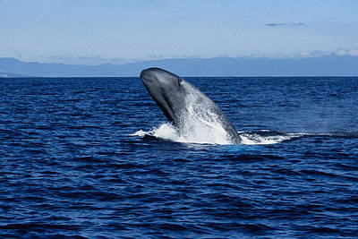 Blue Photograph - Blue Whale, Balaenoptera Musculus by Gerard Soury