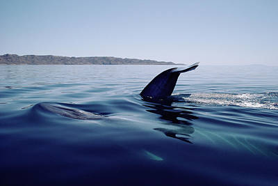 Blue Photograph - Blue Whale Balaenoptera Musculus, Tail by Flip Nicklin/ Minden Pictures