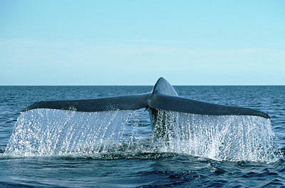 Blue Photograph - Blue Whale Balaenoptera Musculus, Tail by Mark Jones/ Minden Pictures
