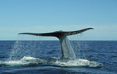 Blue Photograph - Blue Whale Balaenoptera Musculus by Tui De Roy/ Minden Pictures
