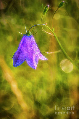 Royalty-Free and Rights-Managed Images - Bluebell 3 by Veikko Suikkanen