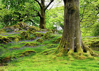 Photograph - Bluebells And Moss by Nicholas Blackwell