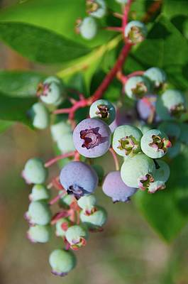 Branch Photograph - Blueberries by ©howd, Howard Lau