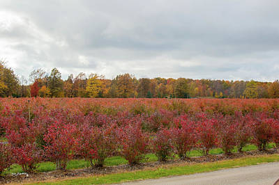 Photograph - Blueberries In Autumn by Ken Figurski