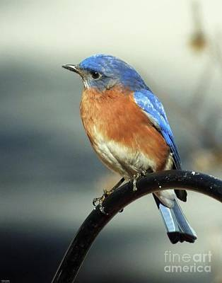 Photograph - Bluebird 42 by Lizi Beard-Ward