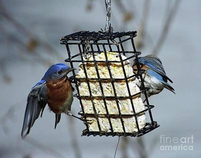 Photograph - Bluebird 43 by Lizi Beard-Ward