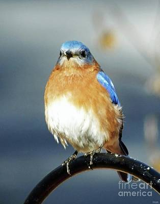 Photograph - Bluebird 44 by Lizi Beard-Ward