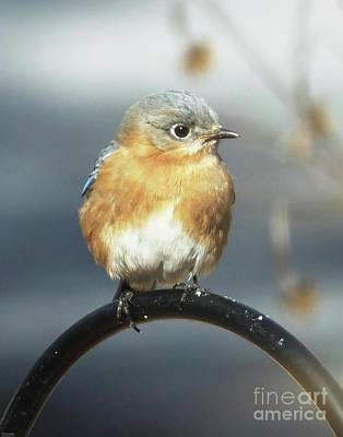 Photograph - Bluebird 48 by Lizi Beard-Ward