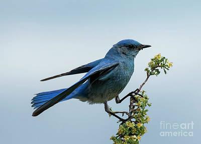 Photograph - Bluebird Balance by Mike Dawson