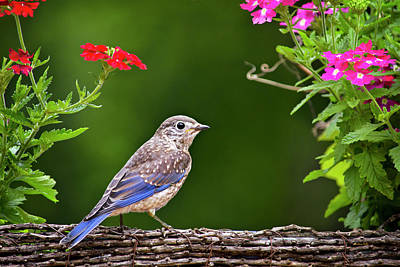 Photograph - Bluebird Chick by Christina Rollo