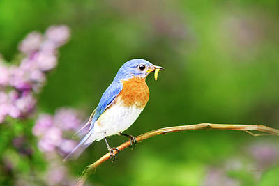 Photograph - Bluebird by Christina Rollo