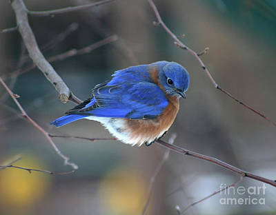 Photograph - Bluebird In Winter by Karen Adams