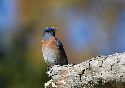 Photograph - Bluebird Of Happiness 2 by Fraida Gutovich