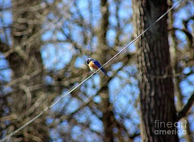 Photograph - Bluebird Sitting On A Wire by Karen Adams