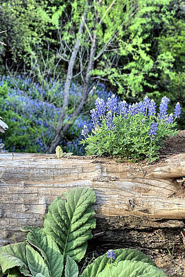 Photograph - Bluebonnets On The Old Log by JC Findley