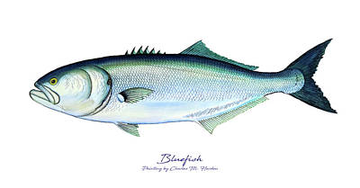 Sports Paintings - Bluefish by Charles Harden