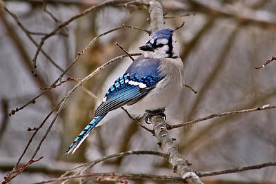 Photograph - Bluiejay by Brad Chambers