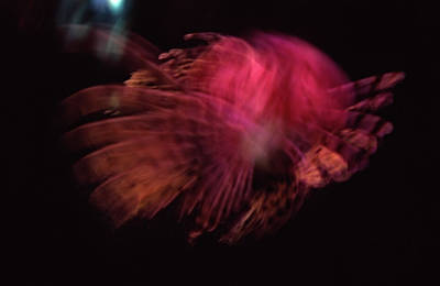 Photograph - Blurred Image Of Lionfish In Aquarium by Martin Hospach
