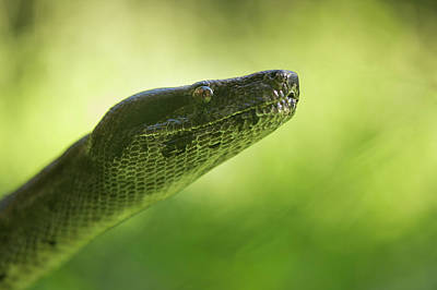 Photograph - Boa Constrictor Snake, Costa Rica by Paul Souders