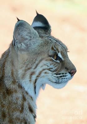 Photograph - Bobcat Profile by Carol Groenen