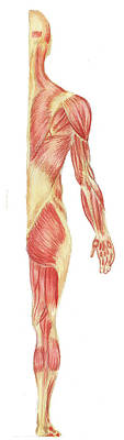 Painting Royalty Free Images - Body Muscles Anatomy Study Posterior View Royalty-Free Image by Irina Sztukowski