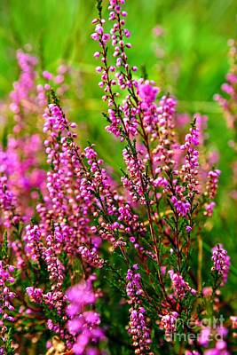 Photograph - Bold And Beautiful Heather by Carol Groenen