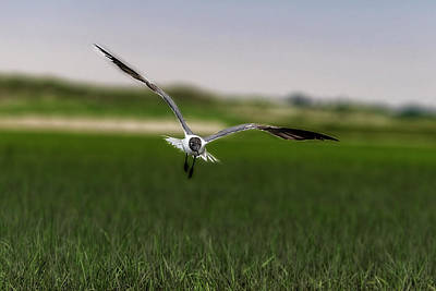 Photograph - Bonaparte's Gull Flying Getting Ready To Land by Dan Friend