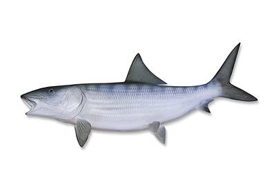 Bonefish With Clipping Path Art Print by Georgepeters