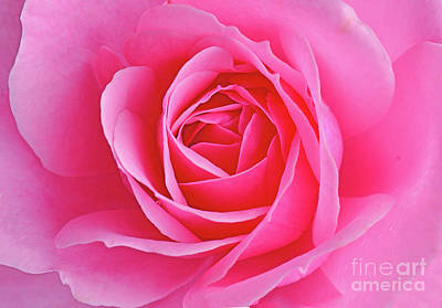 Royalty-Free and Rights-Managed Images - Bonica Pink Rose Beauty by Regina Geoghan
