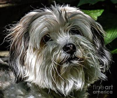 Animals Royalty-Free and Rights-Managed Images - Boopers - Havanese by Cindy Treger