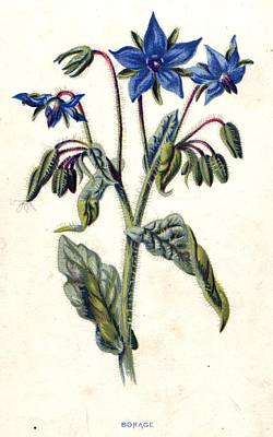 Digital Art - Borage by Hulton Archive