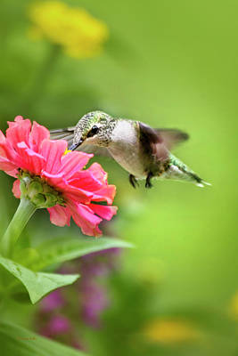 Photograph - Botanical Hummingbird by Christina Rollo