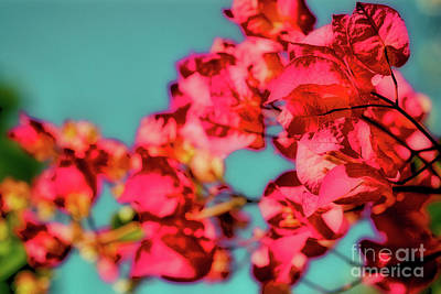 Photograph - Bougainvillea by Toula Mavridou-Messer