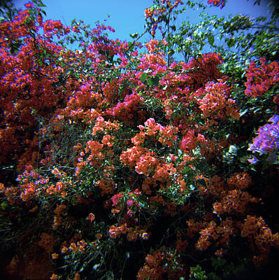 Photograph - Bougainvillea Wall-1 by Rudy Umans