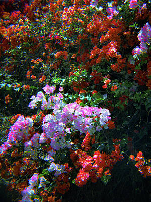 Photograph - Bougainvillea Wall-2 by Rudy Umans