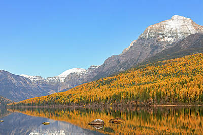 Bath Time Rights Managed Images - Bowman Lake Tamarack Gold Royalty-Free Image by Jack Bell