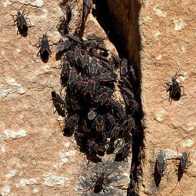 Photograph - Box Elders Bugs Clustering On Warm Sandstone  by Kathleen Bishop