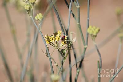 Photograph - Boxelder Beetle On Desert Milkweed At Sunnyland  by Colleen Cornelius