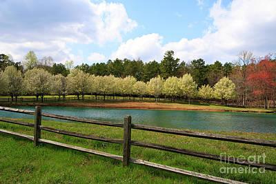 Photograph - Bradford Pear Trees Blooming by Jill Lang