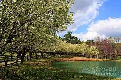 Photograph - Bradford Pear Trees by Jill Lang