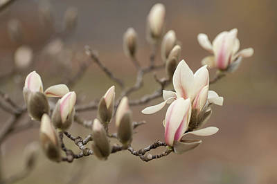 Photograph - Branch Of Zen Magnolia 1 by Jenny Rainbow
