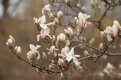 Photograph - Branch Of Zen Magnolia by Jenny Rainbow