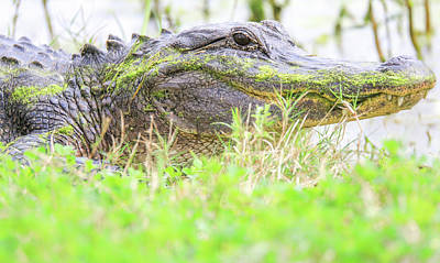 Photograph - Brazos Bend American Alligator by Dan Sproul