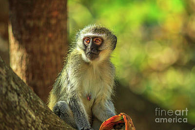 Photograph - breast of female Vervet Monkey by Benny Marty