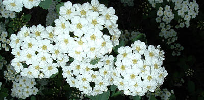 Belinda Landtroop Royalty-Free and Rights-Managed Images - Bridal Wreath1 by Belinda Landtroop