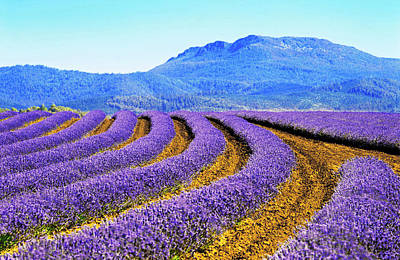 Photograph - Bridestowe Estate Lavender Farm At by Australian Scenics