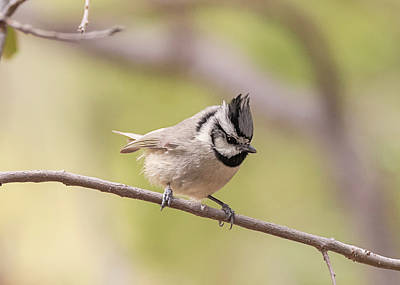 Photograph - Bridled Titmouse by Loree Johnson